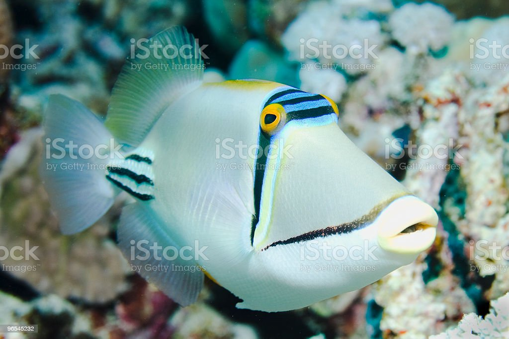 Picasso Triggerfish royalty-free stock photo
