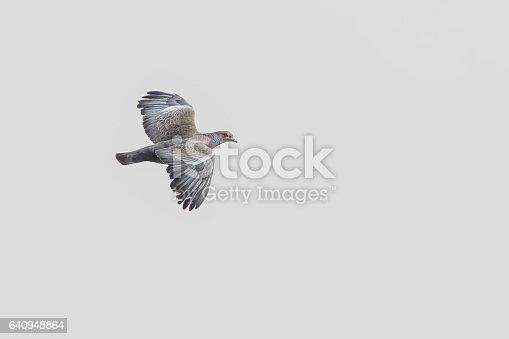 Picazuro pigeon in flight