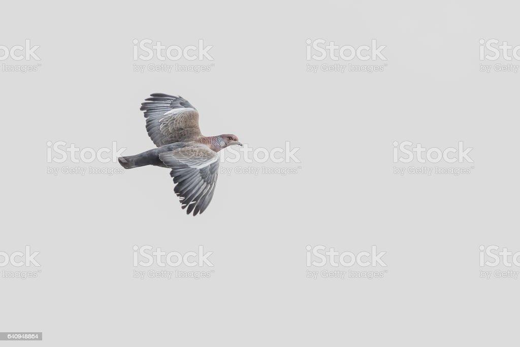 Picazuro pigeon stock photo
