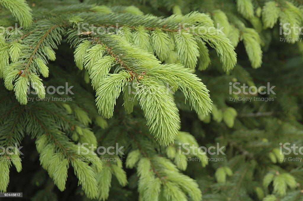 Picea nidiformis young foliage royalty-free stock photo