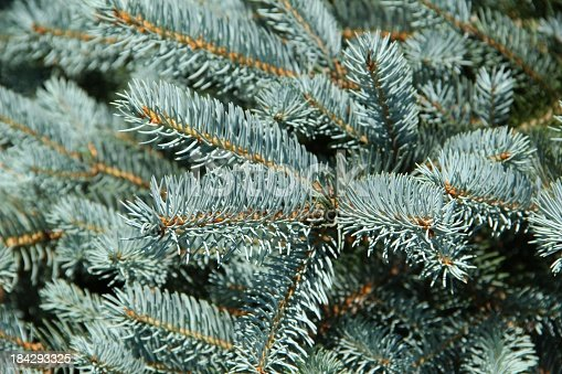 Picea pungens - Blaufichte