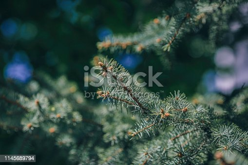 Blue Spruce, Backgrounds, Blue, Botany, Branch - Plant Part