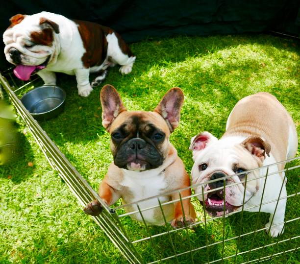pick of the litter bulldogs - pet shop and dogs not cats stock pictures, royalty-free photos & images