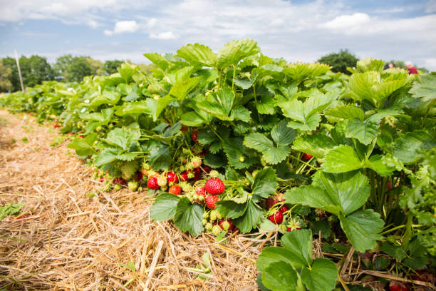 Pick strawberries themselves A field of ripe strawberries strawberry field stock pictures, royalty-free photos & images