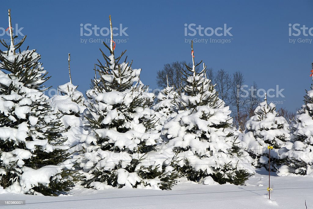 Pick Your Christmas Tree stock photo