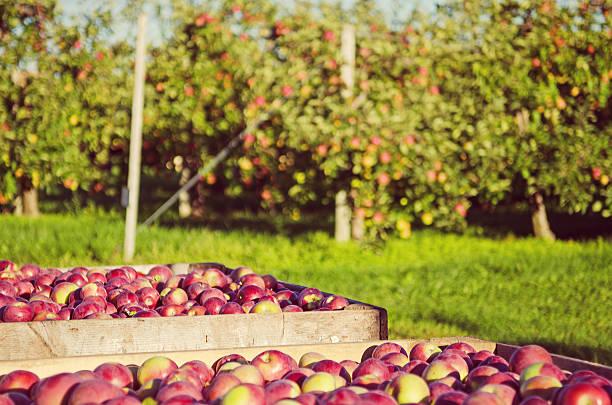 Picked Apples stock photo