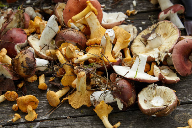 Picked chanterelle mushrooms on the wooden table stock photo