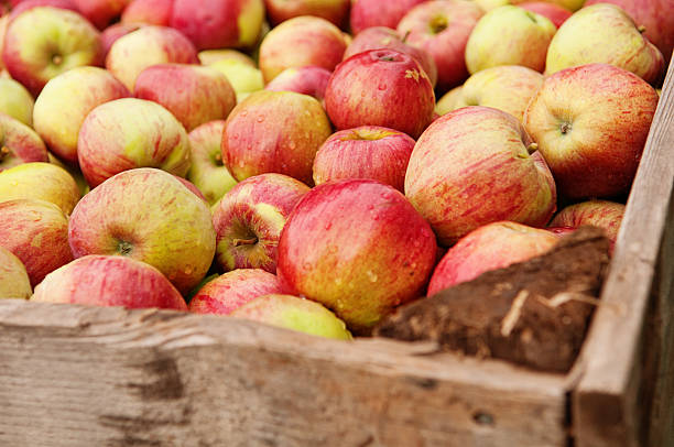 Picked Honeycrisp apples in a wooden box stock photo