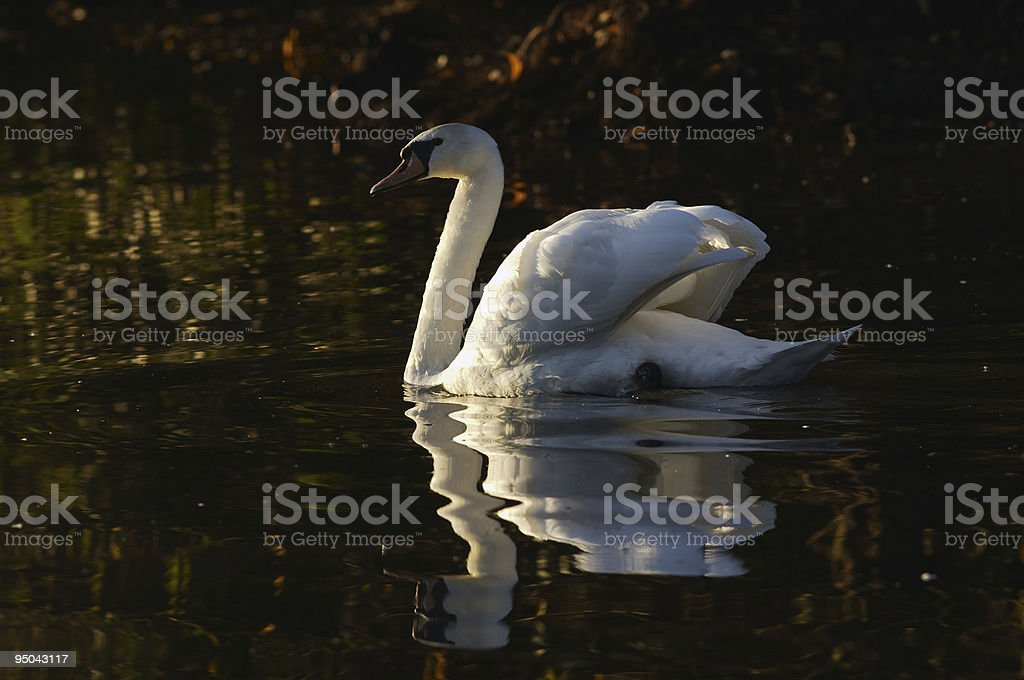 Reflected mute swan Cygnus olor swimming rich brown colors stock photo