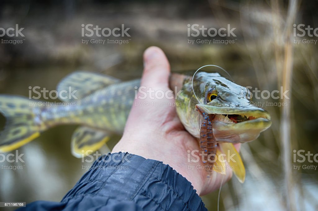 Pickerel (pike fish) in hand with the soft bait in jaws. Fishing on wild river, lake. stock photo