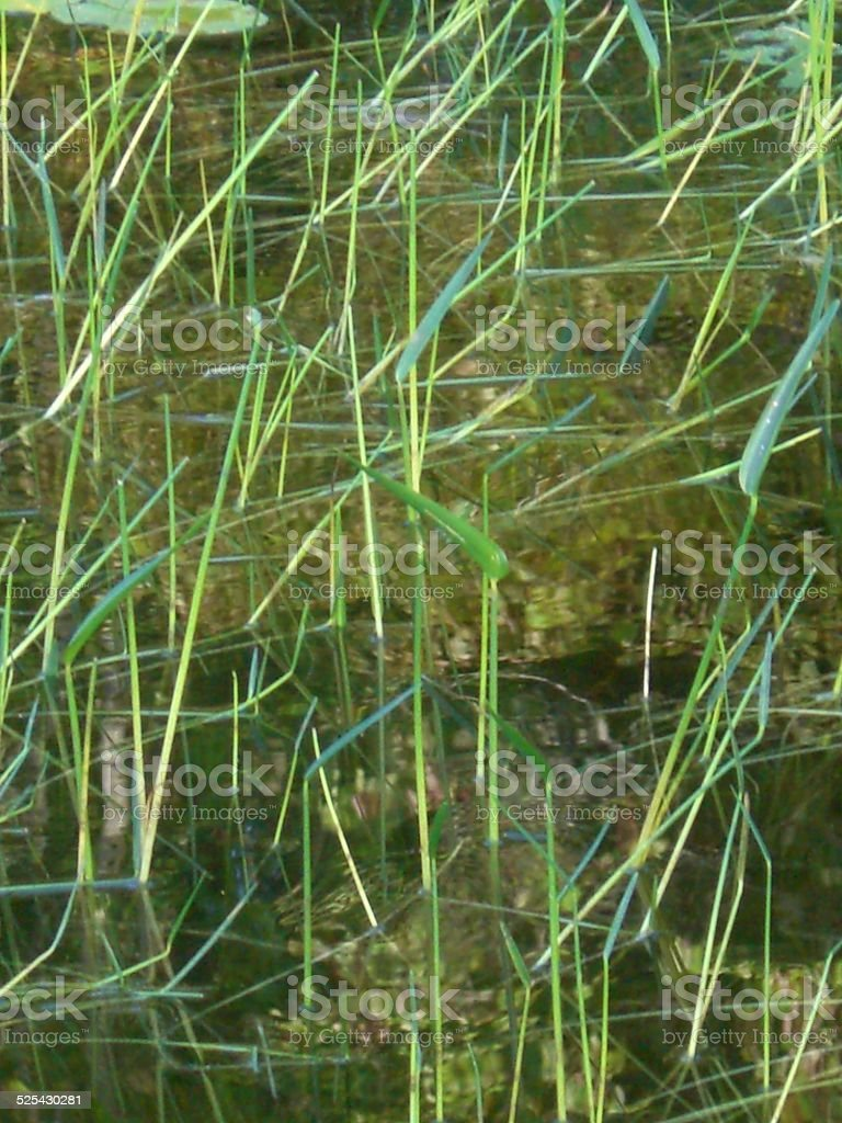 Pickerel Weed and Lake Grass stock photo