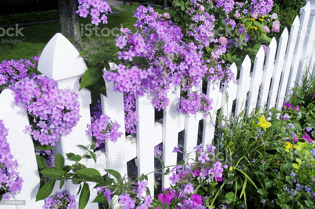 Picket Fence with Phlox royalty-free stock photo