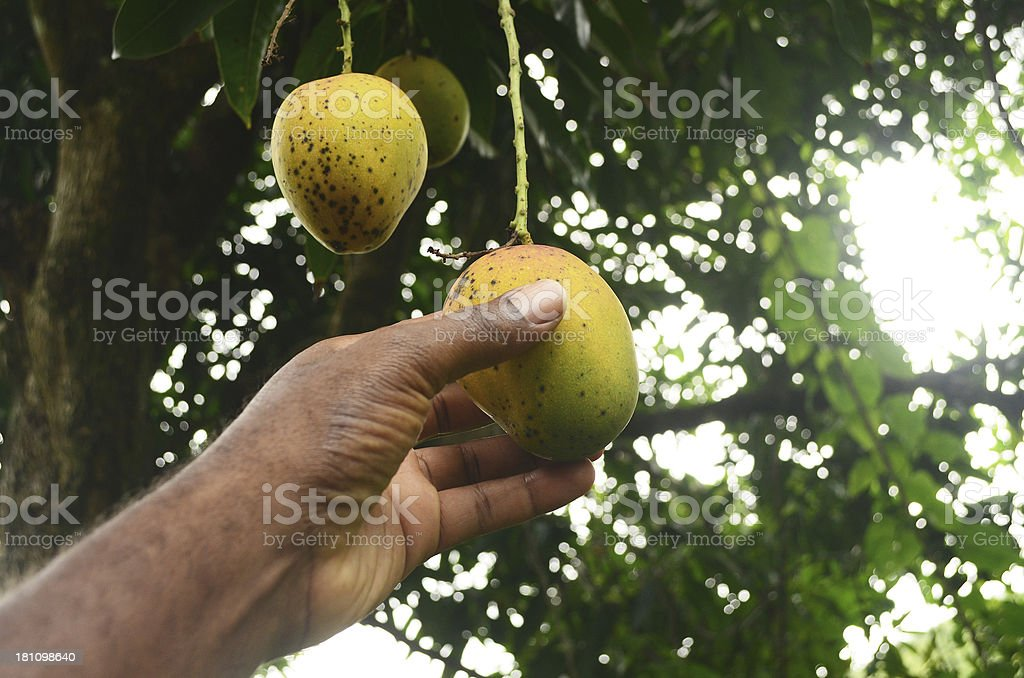 picking a fresh mango from tree stock photo