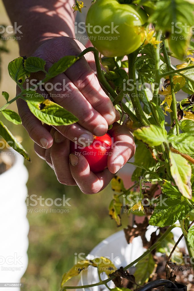 Picking a Red Tomato royalty-free stock photo