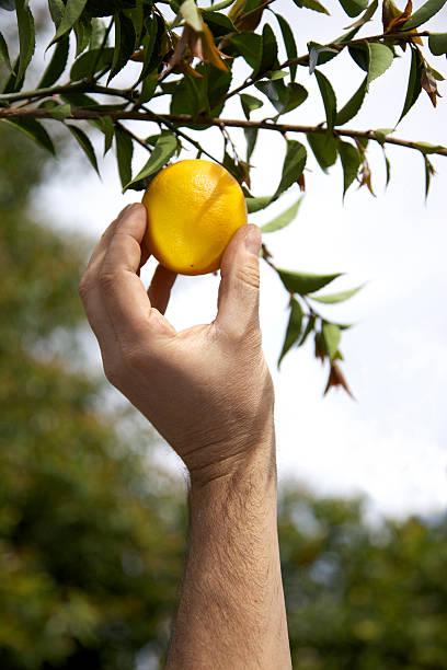 Picking a ripe lemon. stock photo