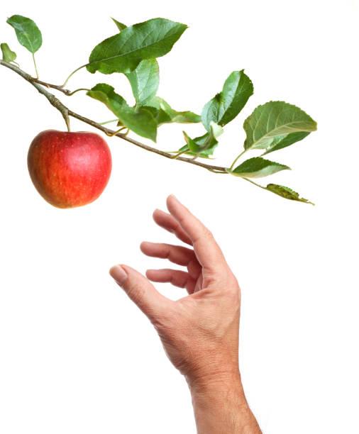 picking an apple from a tree - picking fruit imagens e fotografias de stock