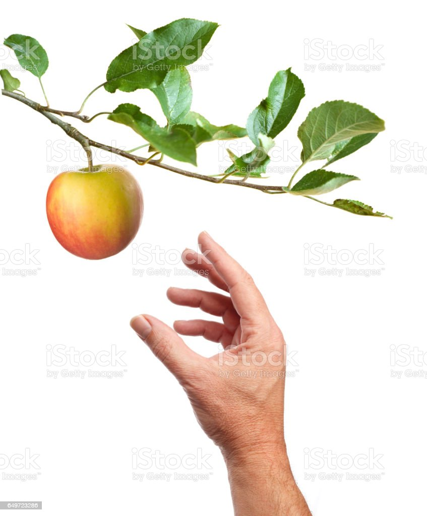 Picking an apple. White background stock photo