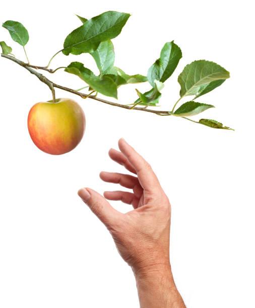 choisir une pomme. fond blanc - membre photos et images de collection