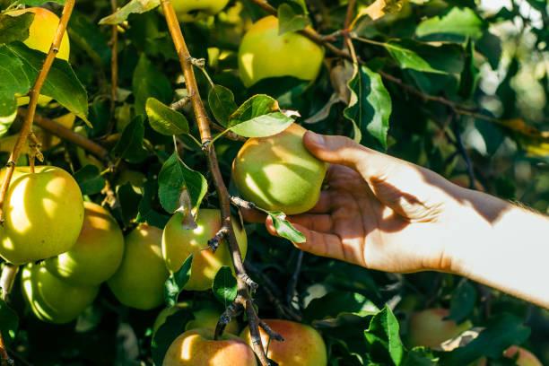 cueillette des pommes dans le jardin - golden photos et images de collection
