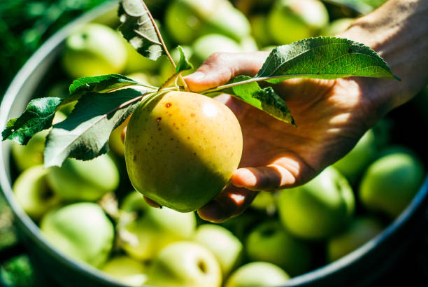 picking apples in the garden picking apples in the garden granny smith apple stock pictures, royalty-free photos & images