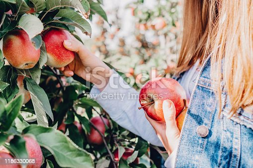 Girl in denim jacket picking and holding apples in her hands