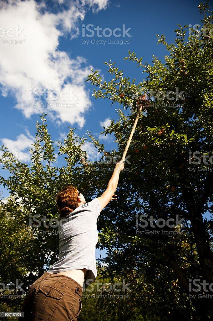 Picking apples royalty-free stock photo