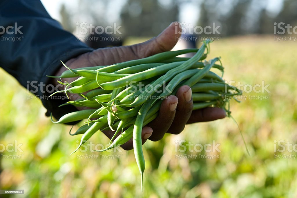 Picking Beans royalty-free stock photo