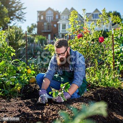 istock picking beets in urban communal garden 599700548