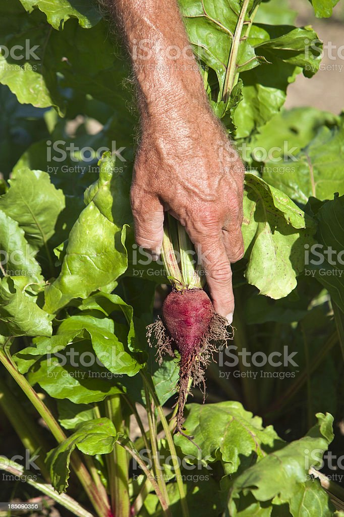 Picking Beets royalty-free stock photo