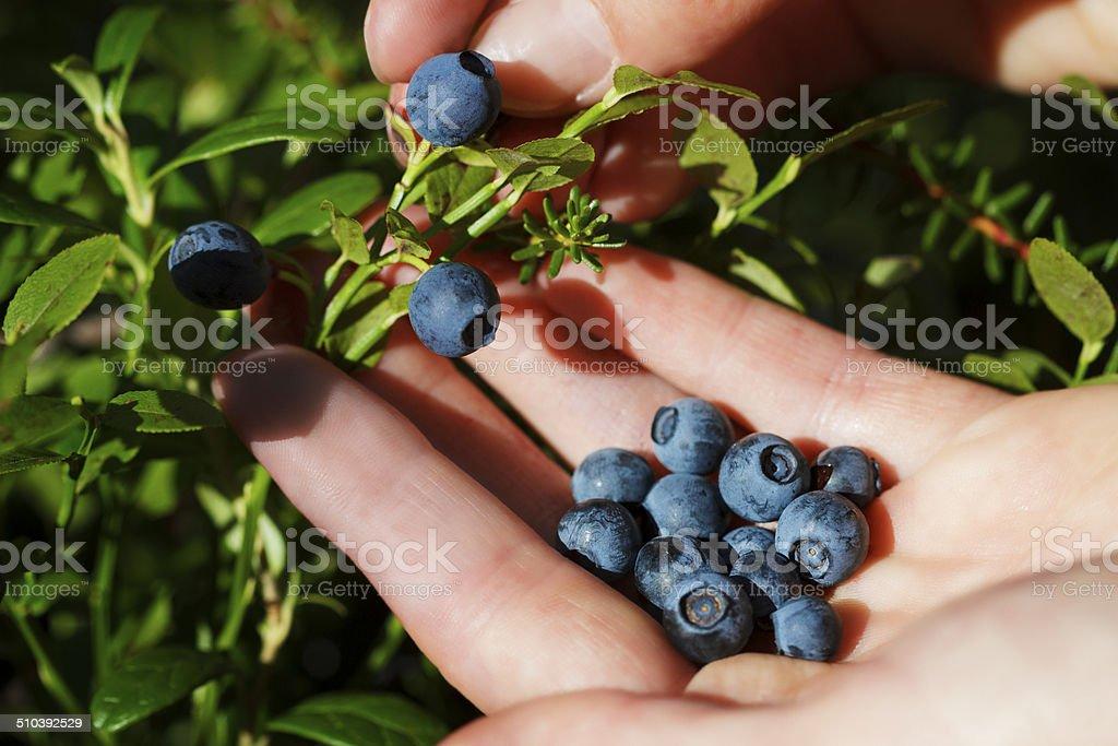 Picking Bilberries stock photo