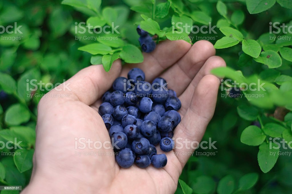 Picking bilberries royalty-free stock photo