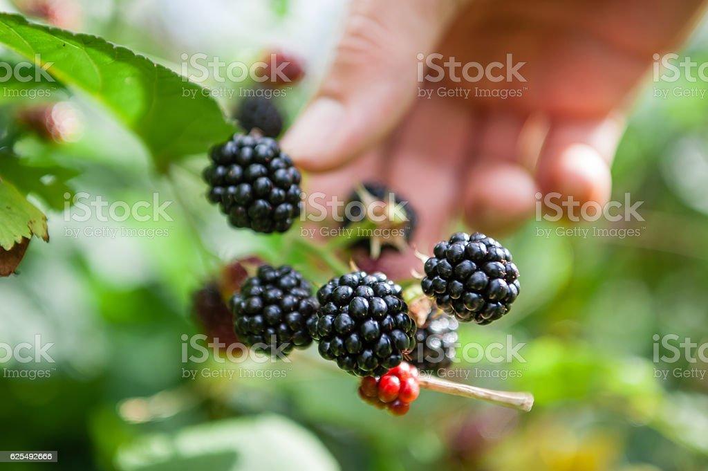 Picking blackberries stock photo