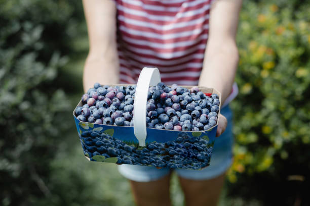 Picking  blueberries in an orchard stock photo
