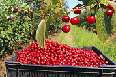 Full box of cherries in the orchard
