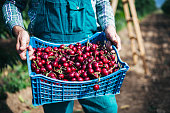 Unrecognizable farmer holding crate with freshness cherries in orchard, close up