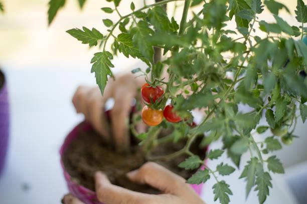 Picking cherry tomatoes stock photo