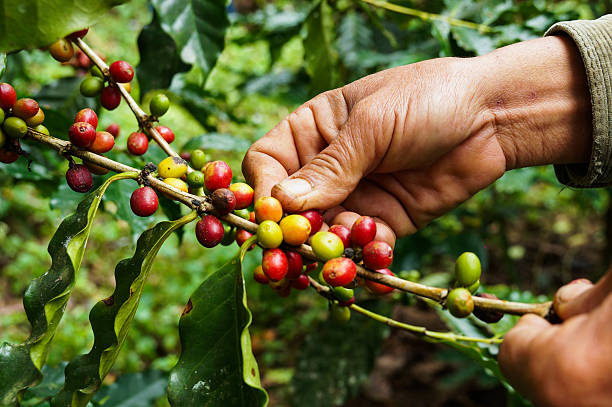 Picking coffee Picking coffee coffee crop stock pictures, royalty-free photos & images