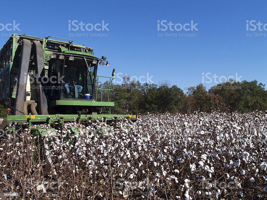Picking Cotton stock photo
