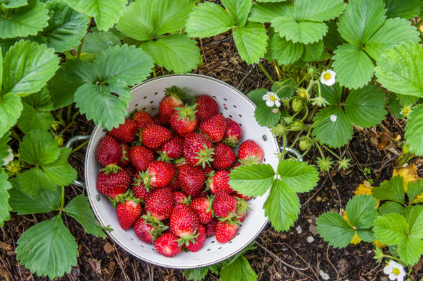 Picking fresh strawberries in the garden Fresh strawberries picked into a white bowl in the garden strawberry field stock pictures, royalty-free photos & images