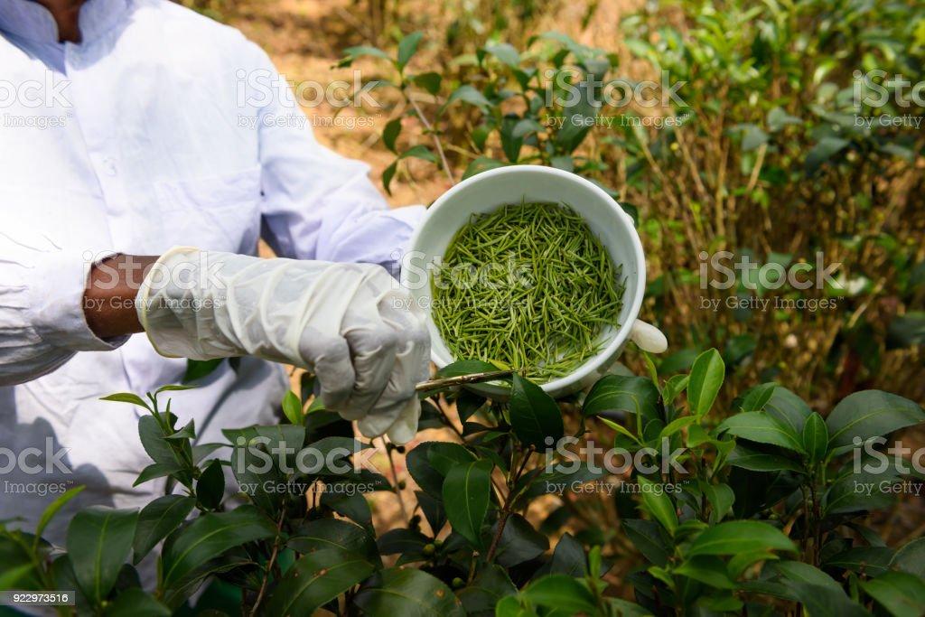 Picking fresh tea buds on plantation stock photo