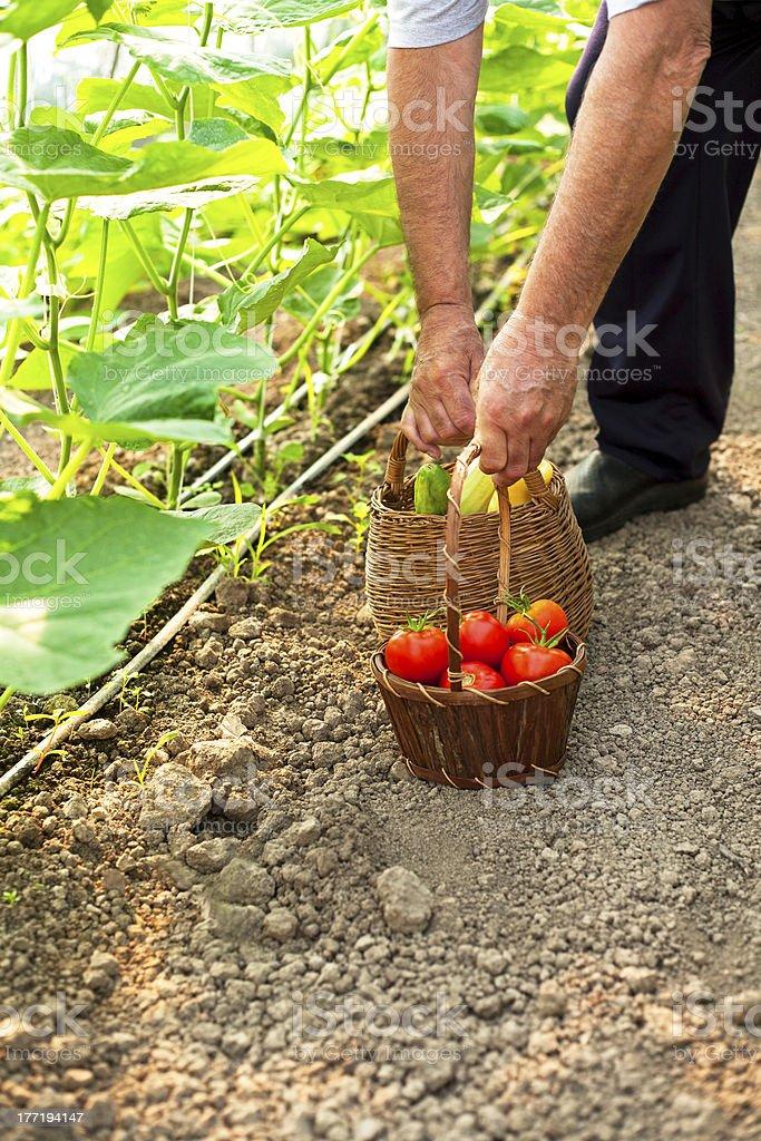 picking fresh tomatoes royalty-free stock photo