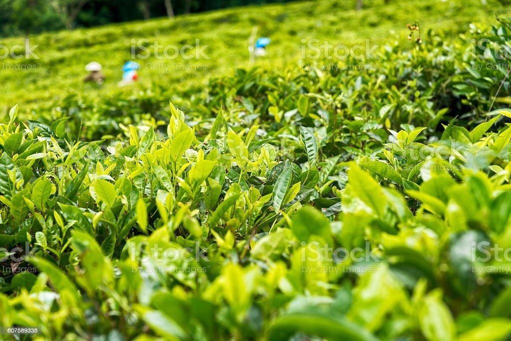Picking green tea in Indonesia stock photo