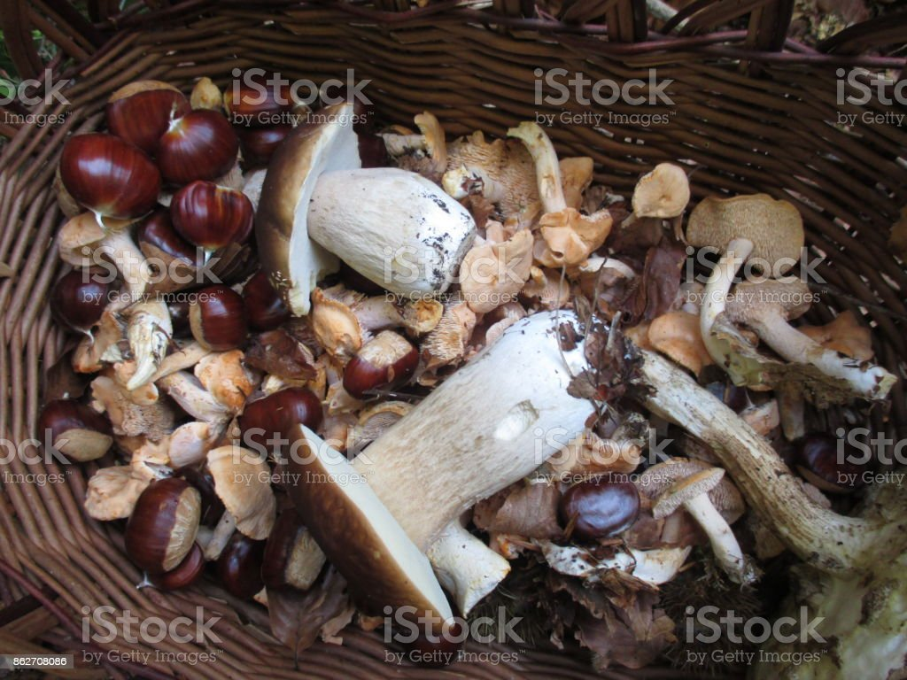 Picking in the forest Mushrooms and Chestnuts stock photo
