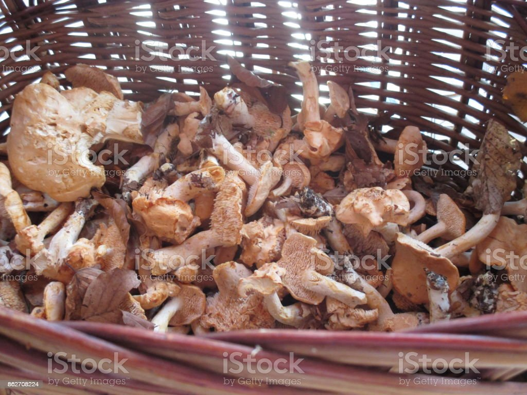 Picking in the forest Mushrooms stock photo
