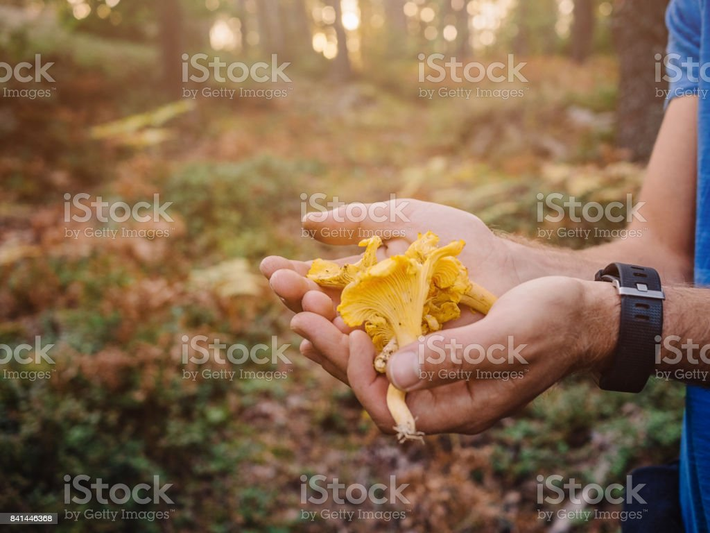 Picking mushrooms chantarelle in the woods stock photo
