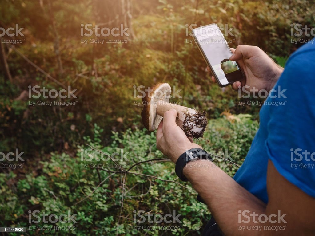 Picking mushrooms in the woods checking smart phone what kind it is stock photo