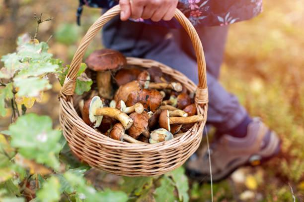 森の中でキノコを摘む - キノコ ストックフォトと画像