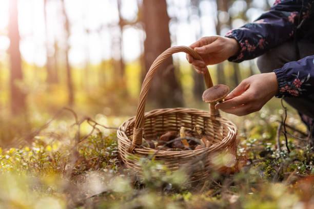 plocka svamp i skogen - höst plocka svamp bildbanksfoton och bilder