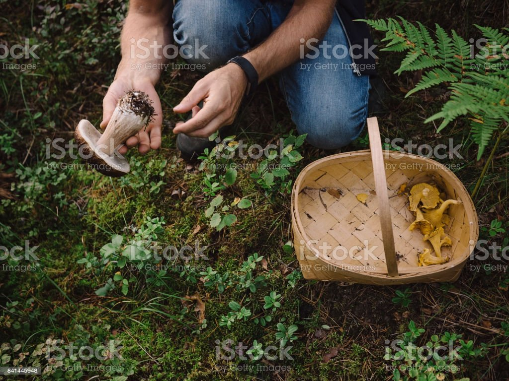 Picking mushrooms in the woods stock photo