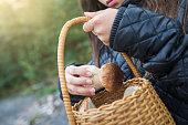 A girl picking porcini mushrooms (Boletus edulis) in an autumn forest.